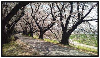 京都の桜 その1A.JPG