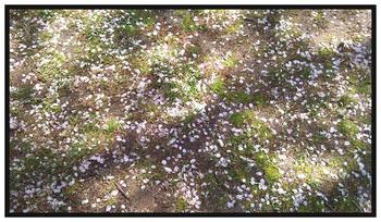 京都の桜 その2A.JPG